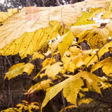 foglie gialle carso