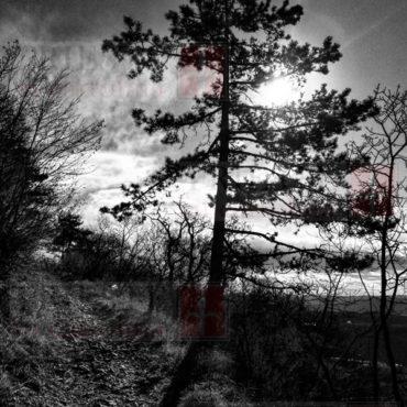 pino nero bn